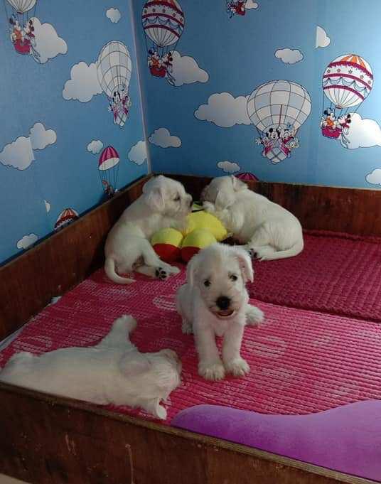 White mini schnauzer puppies by Elan